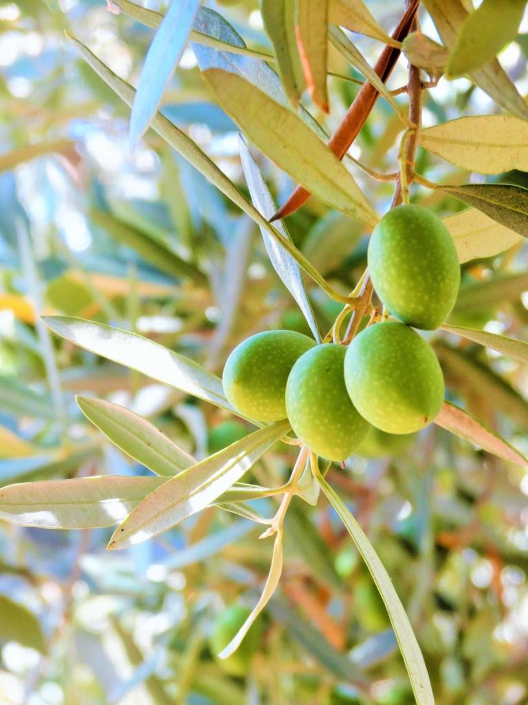 Sur l'olivier