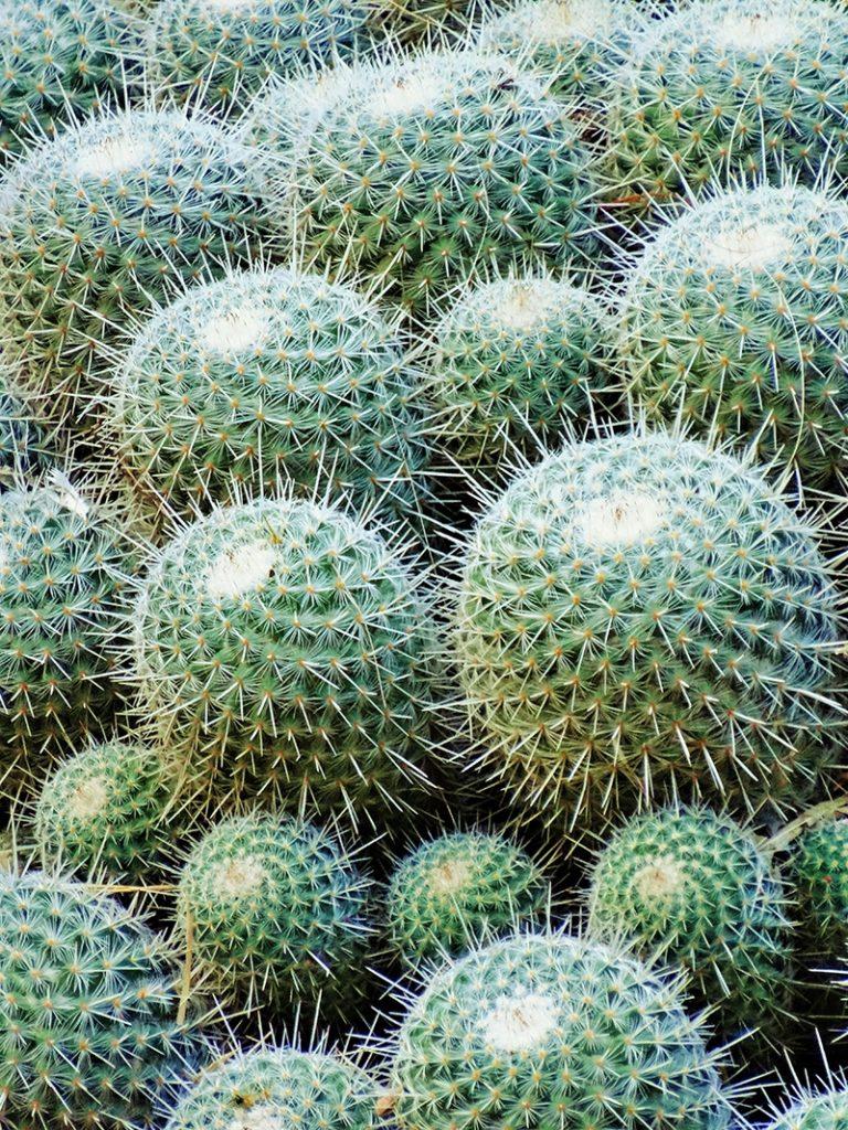 Cactus hirsute