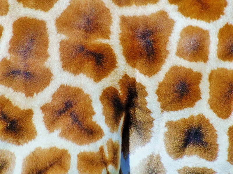 Pelage de girafe