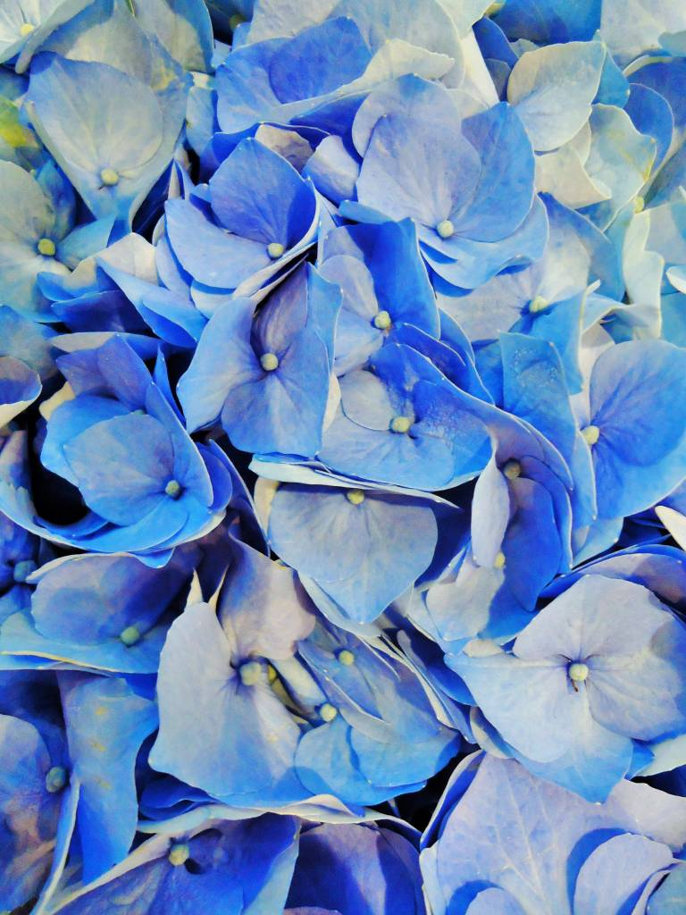 Fleurs d'hortensia bleues