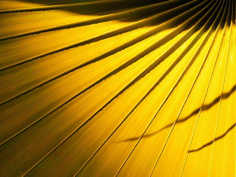 Palmes jaunes
