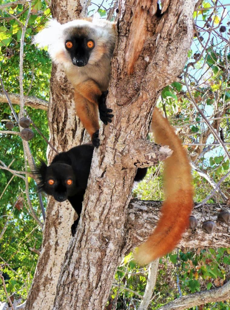 Lémuriens gourmands