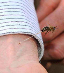 Pourquoi les abeilles meurent-elles après avoir piqué?