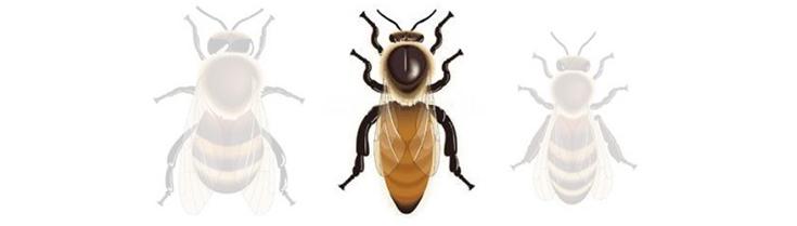 Les habitants de la ruche: la Reine