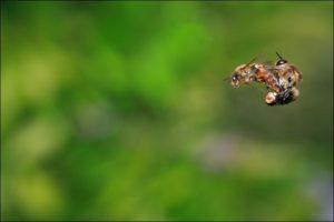 Les habitantes de la ruche: l'abeille ouvrière