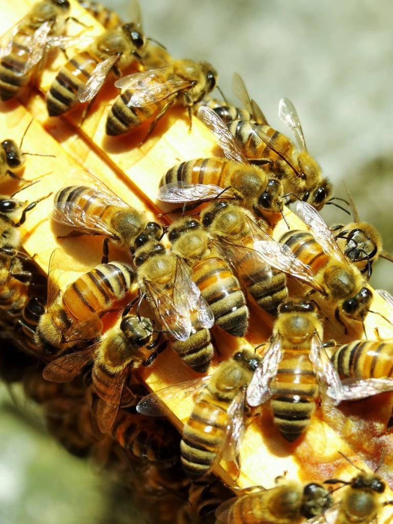 Cadre de ruche