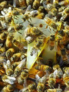 Lutter contre le varroa