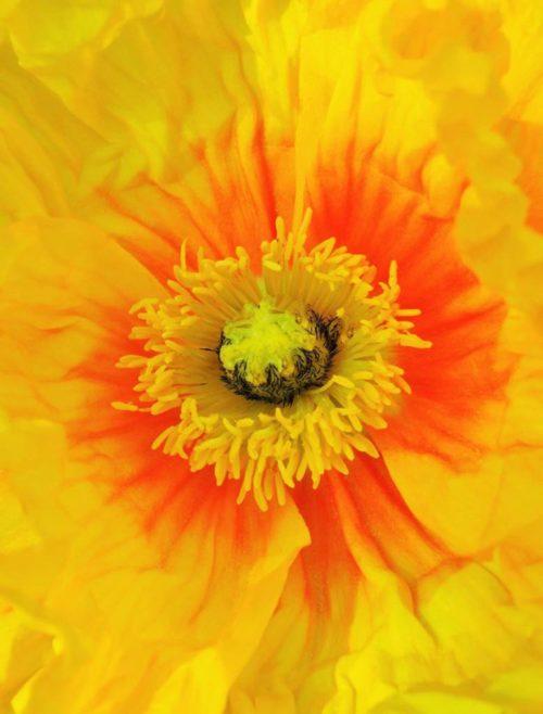 Fleur de pavot jaune