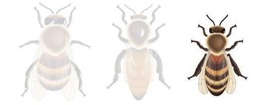Les habitants de la ruche : l'abeille ouvrière
