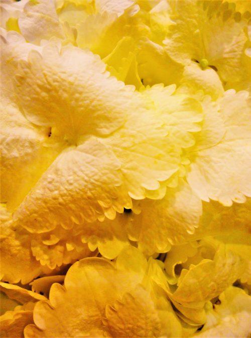 Hortensia jaune